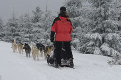 Slitta trainata dai cani dei husky siberiani sulla traccia Immagine Stock