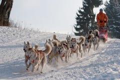 Slitta trainata dai cani del husky siberiano sulla traccia Sedivacek lungo Immagini Stock