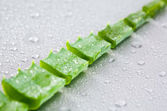 Slitting leaf. Image of slitting green leaf of aloe with drops Stock Photography