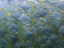 Sliver Batfish - Monodactylus argenteus Royalty Free Stock Image