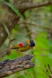 Sliver-eared mesia. Sitting on the tree ,thailand Stock Photography