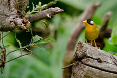 Sliver-eared mesia. Sitting on the tree ,thailand Royalty Free Stock Photos