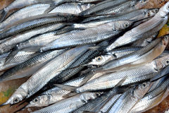 Sliver fish. Raw sliver fish selling in market, shown as fishing and agriculture concept stock photo
