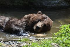Slivertip grizzly floating on its side while bathing Royalty Free Stock Image