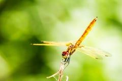 Slända med den härliga vingen Royaltyfri Fotografi