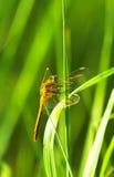 Slända på stjälk av gräs Fotografering för Bildbyråer