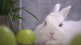 Slo-Mo μιας κουρασμένης συνεδρίασης κουνελιών δίπλα στα πράσινα μήλα απόθεμα βίντεο