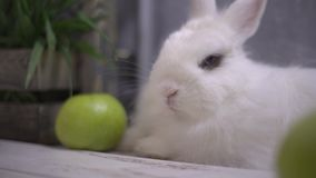 Slo-mo av en vit kanin som andas och slickar lager videofilmer