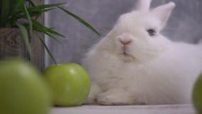 Slo-mo av en vit kanin som andas och slickar stock video