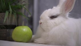 Slo-mo of a curious rabbit shaking his nose. And his law while breathing stock footage