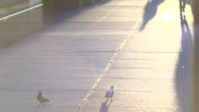 Slo-Mo dei piccioni su un marciapiede della città (1 di 1) video d archivio