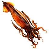 Sloanii fresco de Nototodarus, calamar da seta de Nova Zelândia, calamar do voo de Wellington, isolado, ilustração da aquarela no ilustração stock