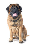 Slobber of mastiff Stock Photography