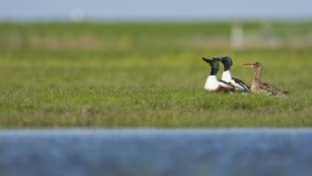Slobeend, Northern Shoveler, Anas clypeata stock photography