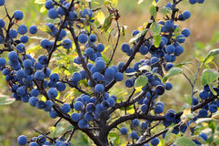 Free Sloe Royalty Free Stock Image - 15514936