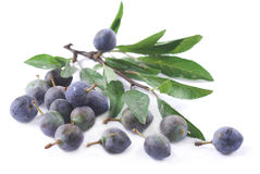 Sloe Stock Photo