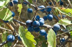Sloe Stock Photography