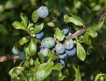 Sloe Berries Royalty Free Stock Images
