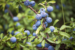Sloe berries Royalty Free Stock Photo