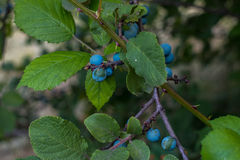 Sloe berries in forest Royalty Free Stock Image