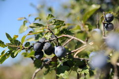 Sloe berries Royalty Free Stock Photos