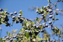 Sloe berries Royalty Free Stock Image