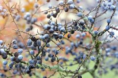 Sloe berries on a tree in month of Novemver. Prunus spinosa, Schlehe covered with ice royalty free stock photo