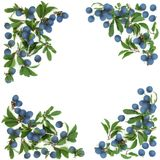 Blackthorn Berry Background Border royalty free stock photo