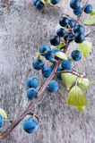 Sloe berry Royalty Free Stock Image