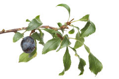 Sloe Royalty Free Stock Photo