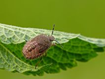 Sloe bug Stock Photography