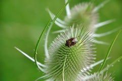 Sloe-bug Royalty Free Stock Photography