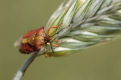 Sloe bug on the corn Royalty Free Stock Photo