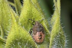 Sloe bug, dolycoris baccarum Royalty Free Stock Images