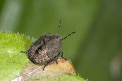 Sloe bug, dolycoris baccarum Stock Image