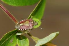 Sloe Bug , Dolycoris baccarum Royalty Free Stock Photo