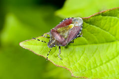 Sloe bug, dolycoris baccarum Royalty Free Stock Photo