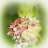 Sloe bug (dolycoris baccarum) Royalty Free Stock Photography