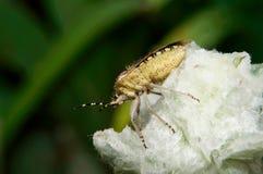 Sloe Bug, Dolycoris baccarum Royalty Free Stock Photography