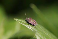 Sloe Bug portrait Royalty Free Stock Photography