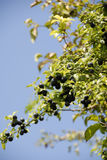 Sloe bush Stock Photo