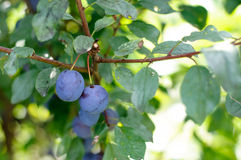 Sloe Fruit at Blackthorn Tree Stock Photography