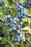 Sloe fruits Stock Photography