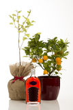 Sloe Gin Alongside Sloe Bush and Calamondin Tree in Pot Royalty Free Stock Photo