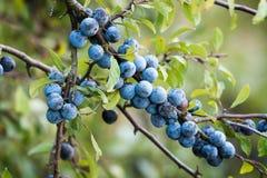 Sloe owoc Zdjęcie Royalty Free