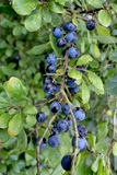 Sloes. October sloes on a Blackthorn tree Royalty Free Stock Photos