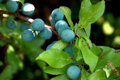 Sloes Stock Photo