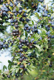 Sloes Royalty Free Stock Images