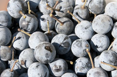Sloes fresh harvested Royalty Free Stock Photos
