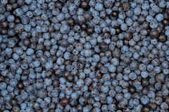 Sloes - Freshly Picked. Closeup of freshly picked sloes, partly showing their natural white wax film stock photo